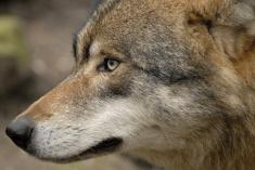 Wolf000